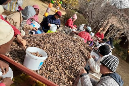 Bumper crop of pecan nuts at Elvira Rota Village